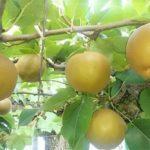 福田好朗(岐阜県)の梨農園の場所やマコモダケとは?品種や購入できる?
